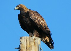 January 4, 2019 - A gorgeous golden eagle in Adams County. (Bill Hutchinson)
