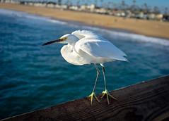Balboa Egret (murraycdm) Tags: egret bird sea ocean pier water beach murraycdm ronanmurray sand sony a7ii 28mm f2 white blue nature birdphotography wildlife