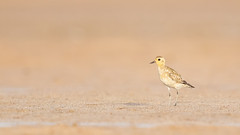 Pacific Golden Plover (ornithphotography) Tags: pacific golden plover pluvialis fulva wellington point queensland australia bird animal wildlife nature shorebird wader migrant beach sand