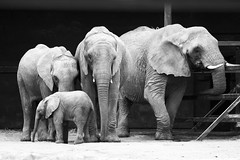 Family of four (Rob Emes) Tags: elephant bw black white family animal canon canon7d 70200 howletts
