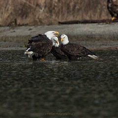 """Threegles"" (elliott845) Tags: eagle birdofprey baldeagle predator raptor bird animal nature pacificnorthwest pnw haliaeetusleucocephalus washington"