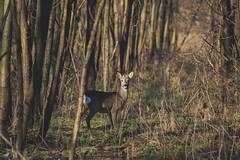 Roe (Péter Vida) Tags: roe wood natural photo őz erdő természet