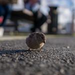 Spåtzerl - Sparrow thumbnail