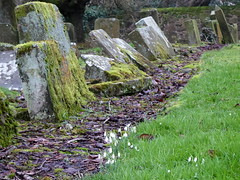 Snowdrops in Cumbernauld Kirkyard (luckypenguin) Tags: scotland northlanarkshire cumbernauld cumbernauldvillage church churchyard kirkyard cemetery snowdrops