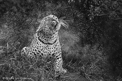 Bless the rains (hvhe1) Tags: nature wildlife wild leopard rain drops bw pantherapardus africa southafrica malamala gamereserve gamedrive safari animal hvhe1 hennievanheerden