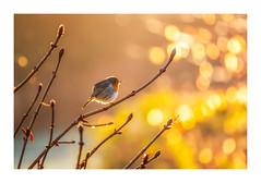 Song of the Morning (Vemsteroo) Tags: robin bird yoc rspb nature lovenature outdoors sunrise morning parkland edgelands wildlife beautiful bokeh canon 5d mkiv 180mm macro ornithology birmingham acocksgreen westmidlands urbanwildlife urban foxhollies springwatch winterwatch exploring