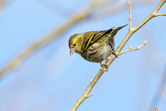 K32P9108c Siskin, Lackford Lakes, January 2019 (bobchappell55) Tags: lackfordlakes wild wildlife nature bird suffolk woodland siskin carduelisspinus
