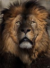Lion (Kyawthutun) Tags: majestic mammal male animal lion fur closeup