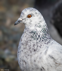 Pretty Pigeon (Melissa M McCarthy) Tags: rockdove feralpigeon pigeon dove bird animal nature outdoor wildlife wild portrait face closeup white light orange eyes quidividilake canon7dmarkii canon100400isii stjohns newfoundland canada