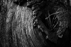 Curled trunk (sam.naylor) Tags: pentax k5 28mm smc manual digital dslr walk nature woking uk britain monochrome black white