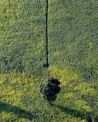 Alone in a corn field (Chamikajperera) Tags: sri lanka ampara landscape
