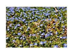 Campo azul, Verónica pérsica, (Plantaginaceae). (EFD-fotolab) Tags: flowers nikkor105mm nikond610 invierno españa macrofotografia macro naturaleza nikon verónicapérsica azul floressilvestres flores