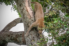 Leopard Making His Descent (helenehoffman) Tags: africa kenya pantheraparduspardus felidae mammal conservationstatusvulnerable cat feline africanleopard leopard bigcat maasaimaranationalreserve animal