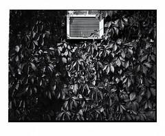 Virginia Creeper vine and A/C unit (Richard C. Johnson: AKA fishwrapcomix) Tags: fujiga645zi film ilfordxp2 analog analogue scanfromnegative filmisnotdead iusedtoshootfilm istillshootfilm blackandwhite bw monochrome outdoor vine building windowoutdoor weeds overgrown garynewduluth minnesota icamesofarforbeauty sictransitgloriamundi