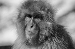 Jigokudani Monkey Park (LauraStudarus) Tags: jigokudanimonkeypark jigokudani snowmonkey snowmonkeysjapan tourism travel travelphotography yamanouchi yamanouchijapan monkey naganoprefecture nagano