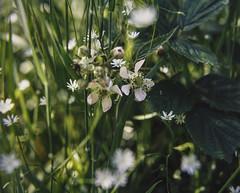 Film Scan (shawn~white) Tags: 120rollfilm bronicags1 mediumformat bliss camerafilmscan colours extensiontube exuberance film green joy spring ©shawnwhite fuji provia