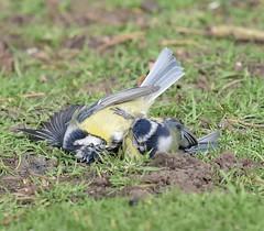 Fight #2 (MJ Harbey) Tags: bird bluetit cyanistescaeruleus passerine paridae animalia aves passeriformes cyanistes sandy bedfordshire rspb rspbsandy thelodgesandy fightingbluetits nikon d3300 nikond3300
