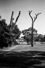 Dead trees (Matthew Paul Argall) Tags: hanimex35es fixedfocus focusfree 35mmfilm kentmerepan100 100isofilm blackandwhite blackandwhitefilm deadtree