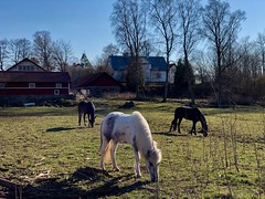 Leader of the pack… (Patrick Strandberg) Tags: dilba flora sweden östergötland bergagård freyda freydafrånblixtorp icelandichorse islandshäst horses hästar iphone iphonex