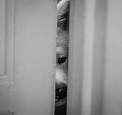 Something interesting behind the door (eba5684) Tags: blackandwhite bw dog animal black akita akitainu japanese grey nikkor
