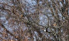 Bruant fou (JeanJoachim) Tags: bruantfou emberizacia rockbunting passeriformes emberizidae oiseau bird vogel aves uccello fågel fugl pássaro バード lintu птица ptak pentaxk5iis smcpentaxda300mmf4edifsdm zippammer