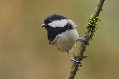 Coal tit (parus ater) (alfred.reinartz) Tags: tannenmeise vogel singvogel parusater bird coaltit
