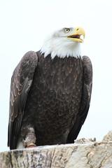 IMG_1451 (Stefan Kusinski) Tags: hemsley duncombe ncbp birdofprey