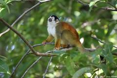 Saïmiri d'Amérique centrale - Saimiri oerstedii - Central American squirrel monkey (jimmyenfru) Tags: wild wildlife mammal mammals costa rica photo photographie photography canon eos 800d sigma 150 600 nature animal animals animaux mammifère mammifères