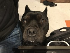 Bonnie (C-Monster) Tags: bonnie dog perro chien amstaff