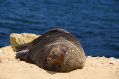 Fur Seal (M J Adamson) Tags: otago coastalotago newzealand nz seal furseals summer outdoors aramoana nature
