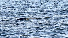Halichoerus grypus - a grey seal in the waters of Stockholm. I know, I know, it got away, well, almost! (cropped) (Franz Airiman) Tags: halichoerusgrypus säl seal sälis sälx grayseal greyseal animal djur stockholm sweden scandinavia wild vild vattendjur mammal watermammal däggdjur vattendäggdjur gråsäl saltsjön saltsjöqvarn