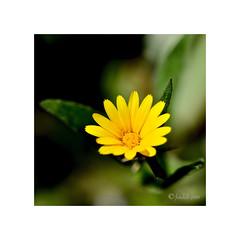 Amarillo intenso. (EFD-fotolab) Tags: fotolab españa nikkor105mm nikond610 nikon macro invierno floressilvestres flores flowers