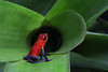 Strawberry Poison-Dart Frog (ashockenberry) Tags: strawberry poisondart frog costa rica ashleyhockenberryphotography nature naturephotography majestic beautiful beauty orange macro tiny natural native wildlife wildlifephotography wild wilderness rainforest tropical landscape habitat amphibian