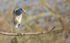 Grey Heron (Phil Everett Photography) Tags: heron birds nature wildlife photography canon