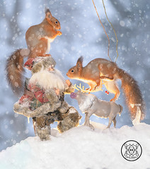 red squirrel standing on a reindeer and a santa in the snow (Geert Weggen) Tags: humor squirrel holidayevent adult animal backlit bright care celebration closeup cute flower gift greeting greetingcard heartshape letterdocument looking loveemotion mammal nature partysocialevent photography red rodent smiling sun sweden wallpaperdecor christmastree snow winter present star reach icicle northpole wand magic santa christmas reindeer bispgården jämtland geert weggen hardeko ragunda
