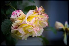 a fleeting beauty ... (miriam ulivi) Tags: miriamulivi nikond7200 nature fiori flowers rosa rose thursdaysflower giovedìdeifiori