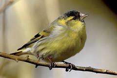 Siskin (Kentish Plumber) Tags: siskin carduelisspinus bird finch passerine male uk nature wildlife