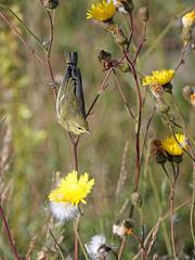 Paruline obscure / Tennessee Warbler / Vermivora peregrina (jeancbenoit51) Tags: paruline warbler vermivora jeancbenoit pointedesmonts