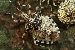 Shield bugs (pbertner) Tags: shieldbug pentatomidae rainforest rainforestexpeditions peru perunature southamerica madrededios puertomaldonado posadaamazonas tambopata diurnal understory