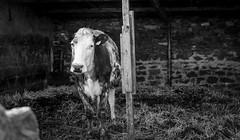 Ettersgill . (wayman2011) Tags: colinhart fujifilmxe2s lightroom5 wayman2011 bw mono rural cattle farms pennines dales teesdale ettersgill countydurham uk