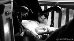 Barnaby (damhphotography) Tags: cat blackandwhite pose