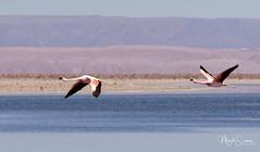 Follow me! (marko.erman) Tags: atacama san pedro chile valle del sal desert salt dry arid beautiful panorama road sony cordillera geology formation geological layers cordilleradelsal flamingo flying bif lagoon chaxa