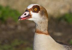 Egyptian Goose (ArtGordon1) Tags: davegordon davidgordon daveartgordon davidagordon daveagordon artgordon1 london england uk february 2019 winter egyptiangoose goose walthamstowwetlands waterfowl