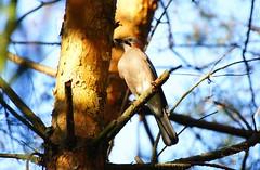 Thoughtful jay (Jurek.P2 - new account) Tags: bird birds wildbird ptaki sójka jay tree closeup jurekp2 sonya500