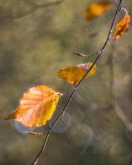 Burnished Beech (Fourteenfoottiger) Tags: beech beechtree burnished leaves shiny woods woodland nature countryside bokeh helios44m vintagelens vintagebokeh twigs