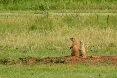 Quitaque - On The Look Out (Drriss & Marrionn) Tags: quitaque texas usa nationalpark park sky caprockcanyons red mountainousterrain hills animals animal mammal mammals blacktailedprairiedog cynomysludovicianus sciuridae rodentia taxonomy:binomial=cynomysludovicianus taxonomy:subgenus=cynomys taxonomy:genus=cynomys taxonomy:species=ludovicianus taxonomy:subtribe=spermophilina taxonomy:tribe=marmotini taxonomy:subfamily=sciurinae taxonomy:family=sciuridae taxonomy:infraorder=sciurida taxonomy:suborder=sciuromorpha taxonomy:order=rodentia taxonomy:mirorder=simplicidentata taxonomy:superorder=glires taxonomy:grandorder=euarchontoglires taxonomy:magnorder=boreoeutheria taxonomy:cohort=placentalia taxonomy:infraclass=eutheria taxonomy:subclass=boreosphenida taxonomy:class=mammalia taxonomy:superclass=gnathostomata taxonomy:subphylum=vertebrata taxonomy:phylum=chordata mammalia grass field placentalia vertebrata dnysmphotography dnysmsmugmugcom