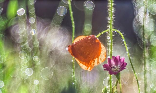 Обои макро, роса, мак, луг картинки на рабочий стол, раздел цветы - скачать