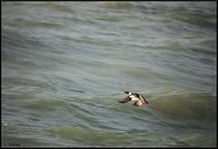 harle huppé mâle en vol (pat lechner) Tags: harle huppé harlehuppé zeeland zélande paysbas
