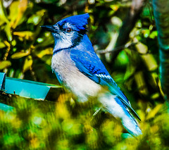 _DSC9721-12 (Lance & Cromwell back from a Road Trip) Tags: birds blue jay wildlife nature portorford currycounty oregon oregoncoast sonyalpha a57 sony tamron tamron150600mmg2 g2 150600mm