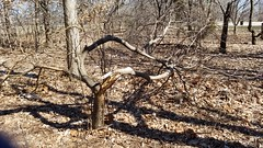Chadwick Arboretum and Learning Gardens (dankeck) Tags: snapped limb broken branch tree winddamage stormdamage ohiostate theohiostateuniversity arboretum chadwickarboretum columbus ohio centralohio franklincounty